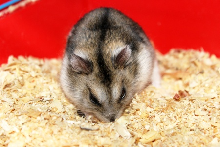 Phodopus sungorus. Jungar hamster in a cage. Stock Photo - 12836991