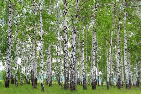 Spring landscape in a birch grove. photo