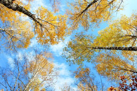 Autumn birches crowns against blue sky with clouds. photo