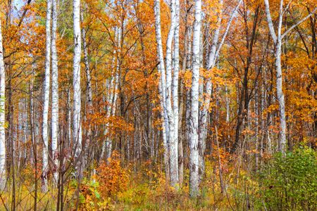 Colorful autumn deciduous forest in central Russia photo