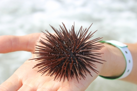 Spiny sea urchin on the open palm