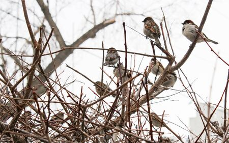A flock of sparrows sitting in the bushes Stock Photo - 18532654