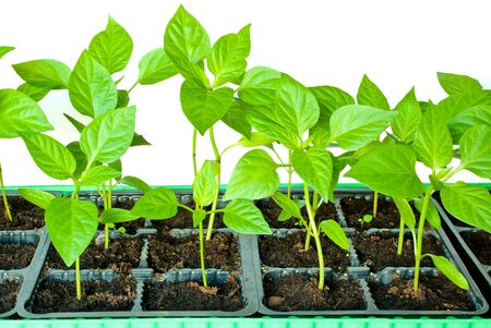 seed bed: Young shoots of seedlings of peppers in a special container landing isolated on white background