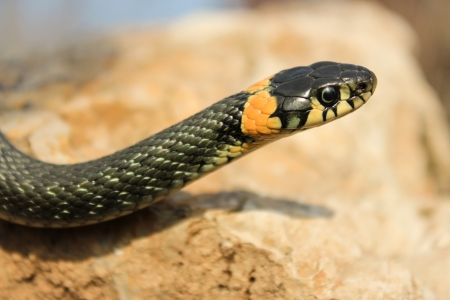 natrix: Close up of grass snake crawling on a stone with a raised head