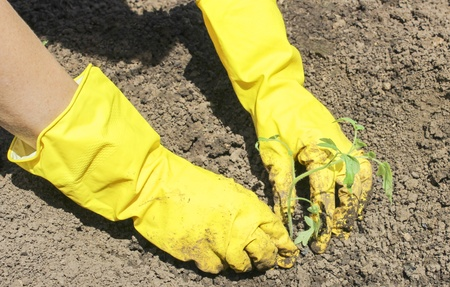 Human hand in yellow rubber gloves, planting tomato seedlings in the garden photo
