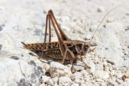 the occupant: Brown grasshopper sitting on a white stones closeup Stock Photo