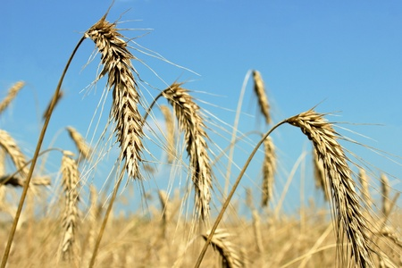 grain fields: Ears of wheat against the grain fields and sky Stock Photo