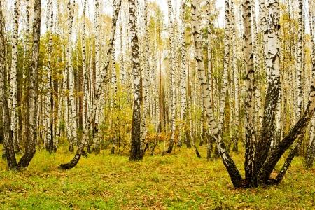 バーチ グローブ曇った秋の日を風景します。