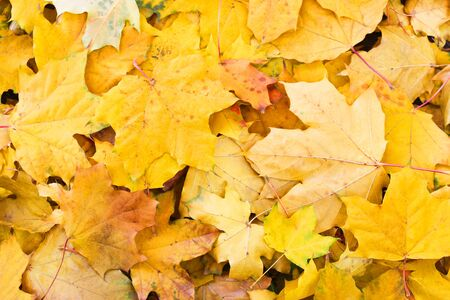 Yellow autumn maple leaves in the background Stock Photo - 23023754