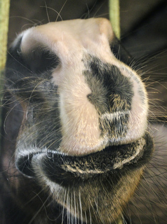 kisser: Muzzle of a horse, got out through the bars of the cell, close up
