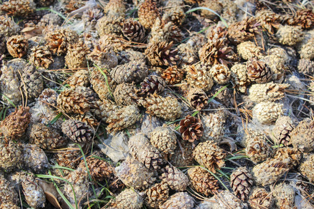 Pine cones in the woods on the ground after the snow melts Stock Photo