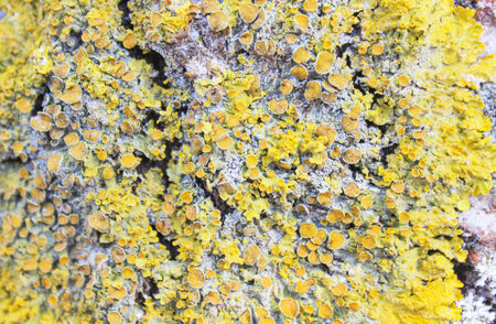 Lichen on a tree bark closeup  Macro  photo