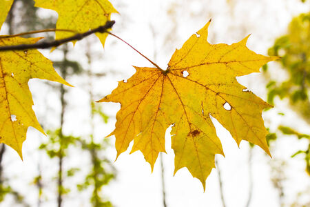 Yellowed maple leaf on a tree branch photo