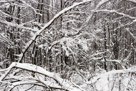toppled: Windfall in winter, covered with snow, forest.