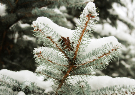 goodliness: Snow-covered fir branches in winter close up