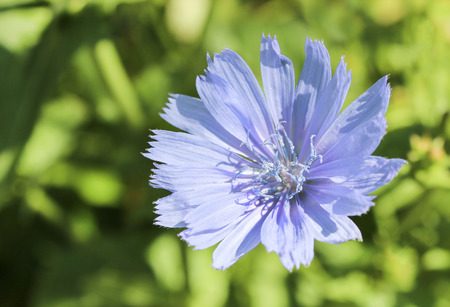chicory coffee: Chicory flower on the green grass background