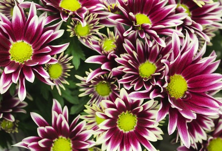 Colorful bouquet of chrysanthemums closeup as background