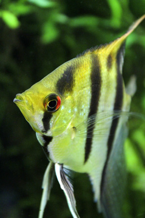 scalare: Pterophyllum scalare in a large aquarium closeup Stock Photo