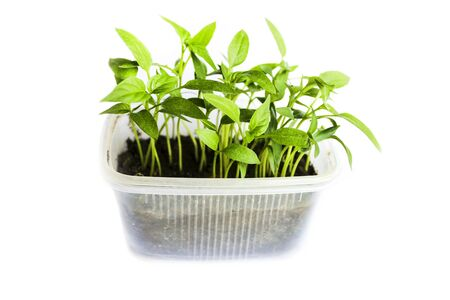 herb garden: Young shoots of seedlings of peppers in a special container landing isolated on white background