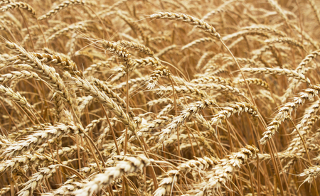 elevator: Ears of ripe wheat growing in a wheat field