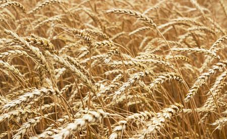 espiga de trigo: Espigas de trigo maduro que crecen en un campo de trigo
