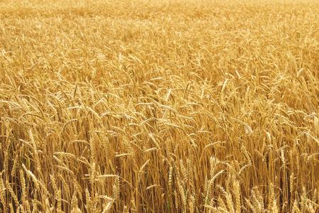 chaff: Ears of ripe wheat growing in a wheat field