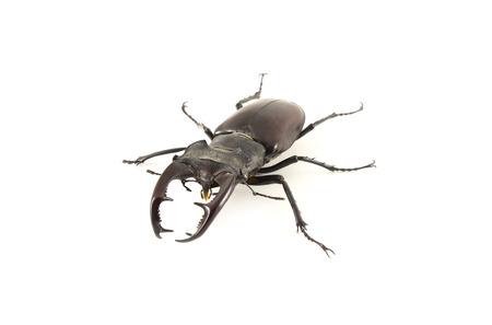cervus: Lucanus cervus. Stag beetle on a white background.