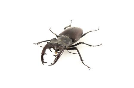 lucanus: Lucanus cervus. Stag beetle on a white background.