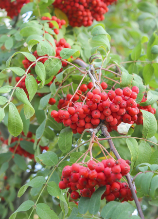 mountain ash: Ripe clusters of mountain ash on the branches