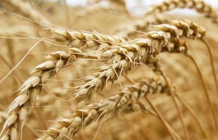 wheat harvest: Ears of ripe wheat growing in a wheat field