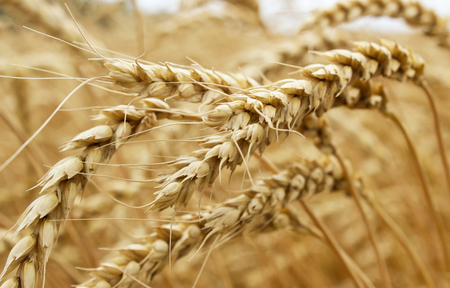 Ohren reif Weizen wächst in einem Weizenfeld Standard-Bild - 48430110