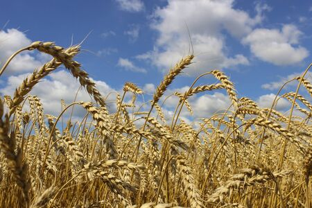 aquifer: Wheat ears close-up on a background of blue sky with clouds