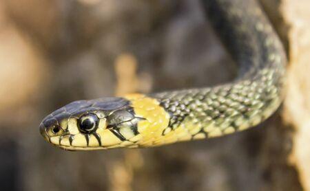 natrix: Natrix. Portrait of a snake crawling on a stone, close up. Stock Photo