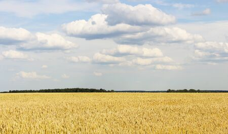aquifer: Landscape with a view of the field of ripe wheat and sky with clouds