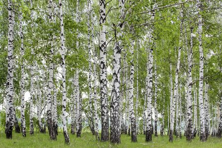 frondage: Landscape with views of verdant birch grove in the spring Stock Photo