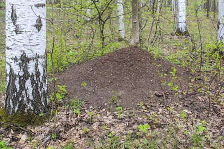 bustle: The big anthill in spring forest near birch trunk