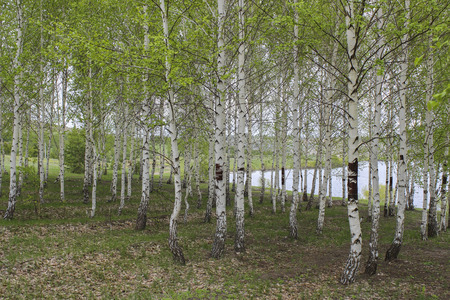 frondage: To blossom in spring birch grove on a background of lake