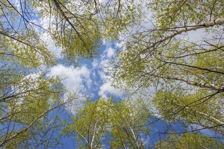 wilting: Sky with clouds through the young foliage of spring birches Stock Photo