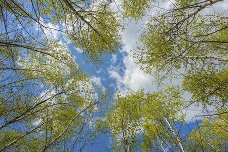Sky through spring birches crowns