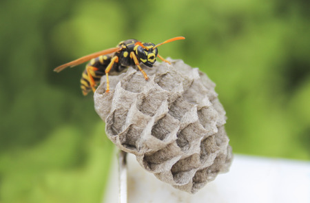 A young Paper Wasp Queen builds a nest to start a new colony