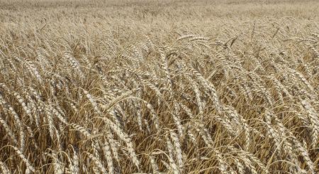 futures: Ears of ripe wheat growing in a wheat field