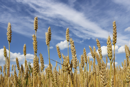 haulm: Wheat ears close-up on a background of blue sky with clouds