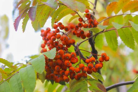 sorb: Bunche of ripe red mountain ash on a branch