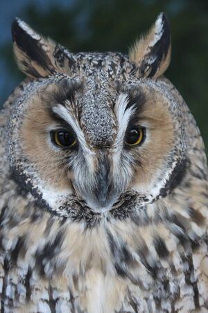 Portrait of variegated plumage owl with a stern look close-up