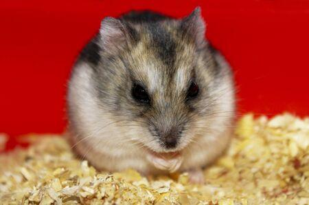 in vain: Phodopus sungorus. Jungar hamster in a cage.
