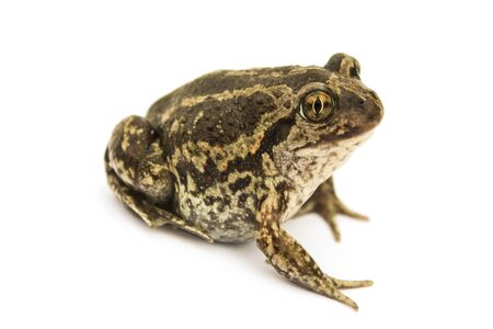 Ground toad isolated on a white background