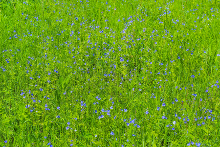 daisie: Blue buttercups bloom in the grass in the spring