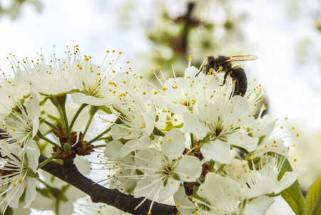 Bee pollinates cherry flowers in spring