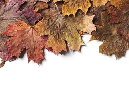 Dry autumn maple leaves on a white background 版權商用圖片