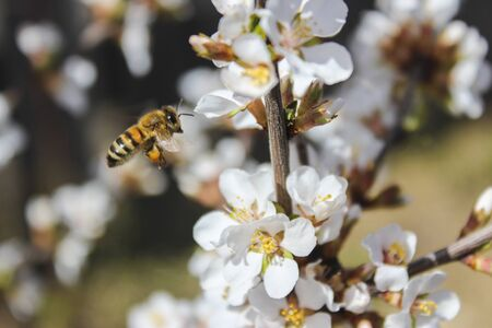 Bee flies, collects honey on cherry flowers